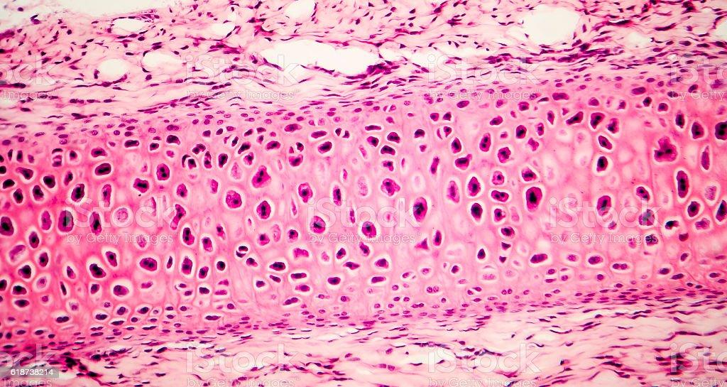Compact bone micrograph stock photo