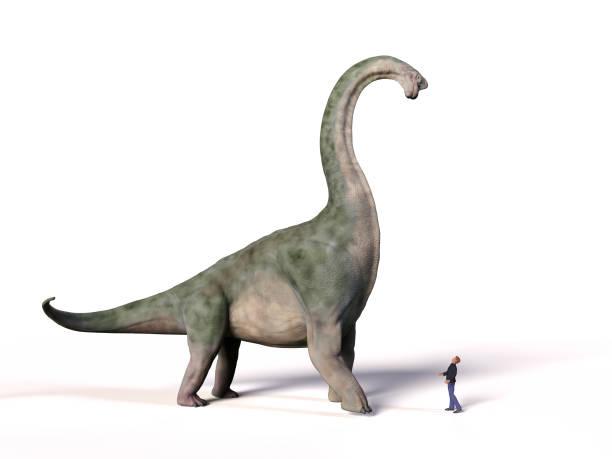 vergleich der größe von einem erwachsenen brachiosaurus altithorax aus dem späten jura und eine 1,8 mio. menschen (homo sapiens) - dinosaurier illustration stock-fotos und bilder