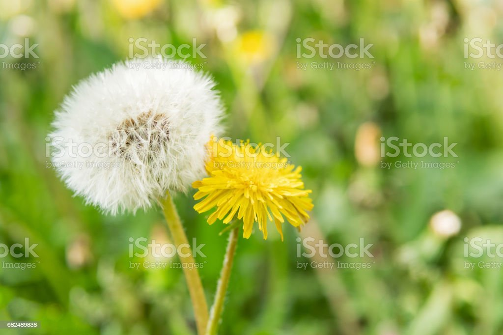 Comparison of two dandelions royalty-free stock photo