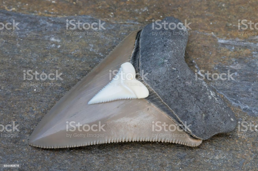 Comparison Photograph - Fossilized Megalodon Shark Tooth VS. Modern Great White Shark Tooth stock photo