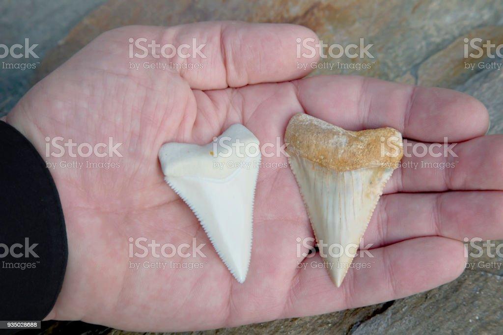 Comparison Photograph - Modern Great White Shark Tooth verses Fossilized Great White Shark Tooth stock photo