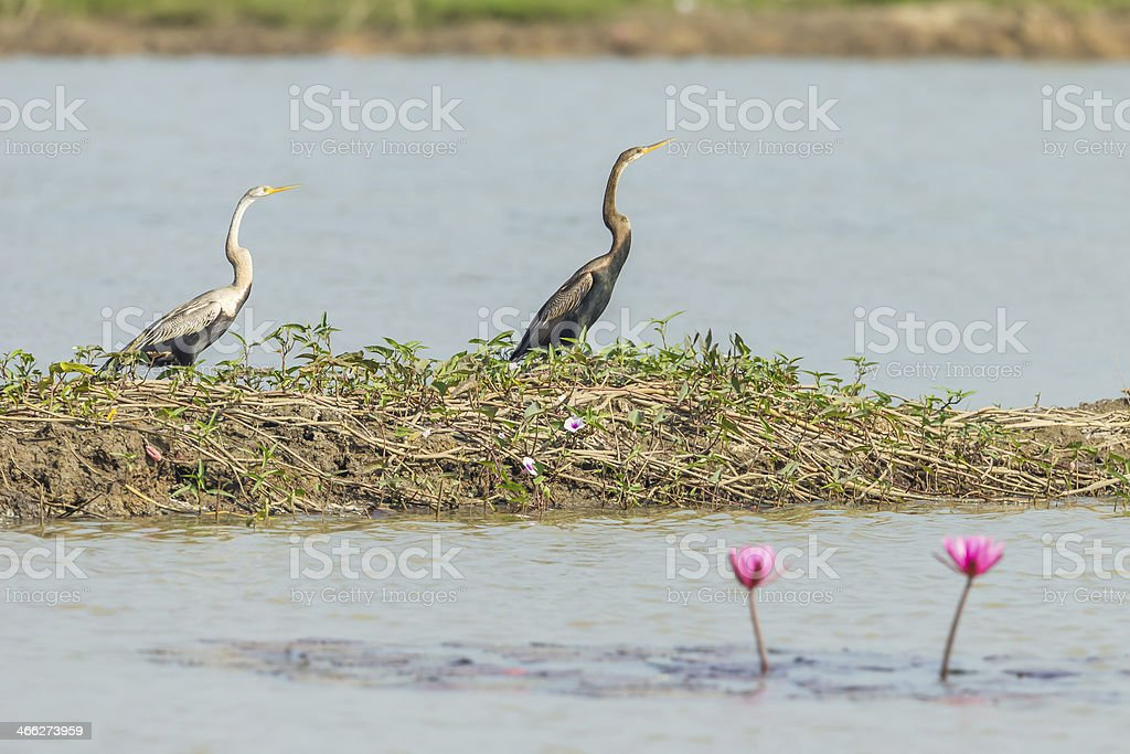 Comparison picture of young Oriental darter stock photo
