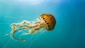 Jellyfish. Sureal. Night dive photo. Fantastic colors!