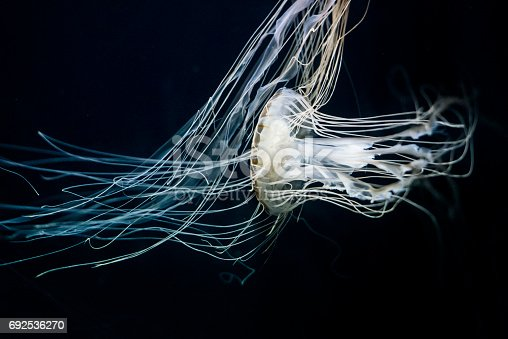 Chrysaora hysoscella, also known as the compass jellyfish, is a very common species of jellyfish that lives in coastal waters of the Atlantic and Mediterranean.
