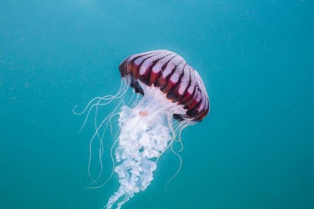 Compass-jellyfish (Chrysaora hysoscella) swimming in open water. stock photo