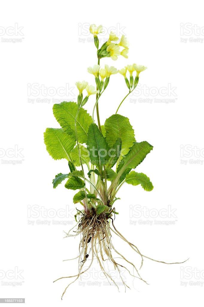 complete primrose plant (cowslip / primula veris) isolated on white stock photo