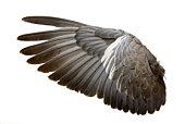istock Complete wing of grey bird isolated on white 94462246