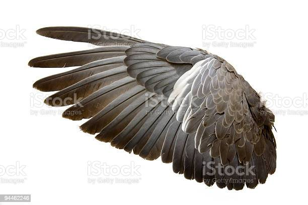 Complete wing of grey bird isolated on white picture id94462246?b=1&k=6&m=94462246&s=612x612&h=c omym8dx120gfho2gvxq5xsmbs925flfqljlyan1lo=