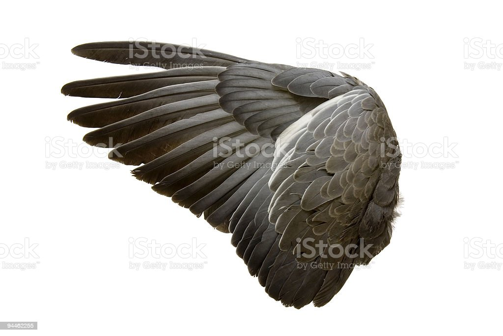Complete wing of grey bird isolated on white royalty-free stock photo