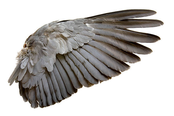 complete wing of grey bird isolated on white - animal wing stock photos and pictures