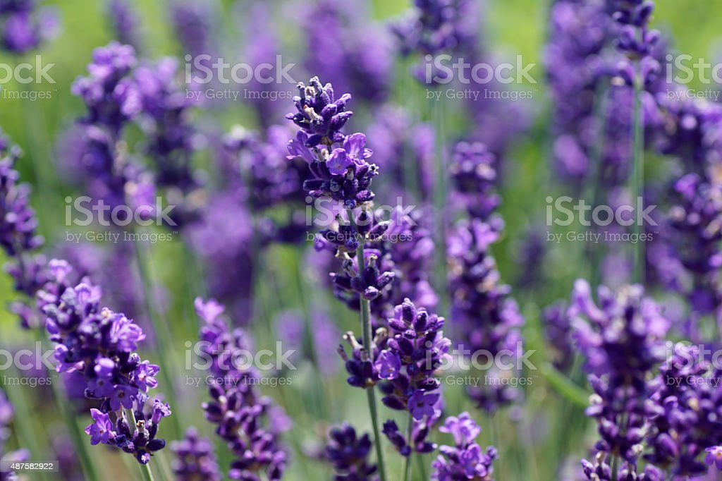 Composition Close-up of lavender flower stock photo