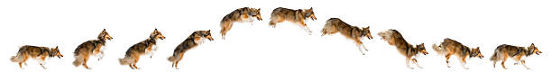 Composition of a shetland sheepdog jumping picture id510056230?b=1&k=6&m=510056230&s=612x612&w=0&h=ntqiaywm8tjfvbmb3rrafopxlwoki8iotlkmbv5 wka=