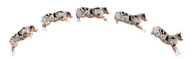 Composition of australian shepherd dogs jumping in a row picture id111920681?b=1&k=6&m=111920681&s=612x612&w=0&h= g58e1lm7p tnzolg9taao6x8qo4kcgxhsioz5xs9yi=