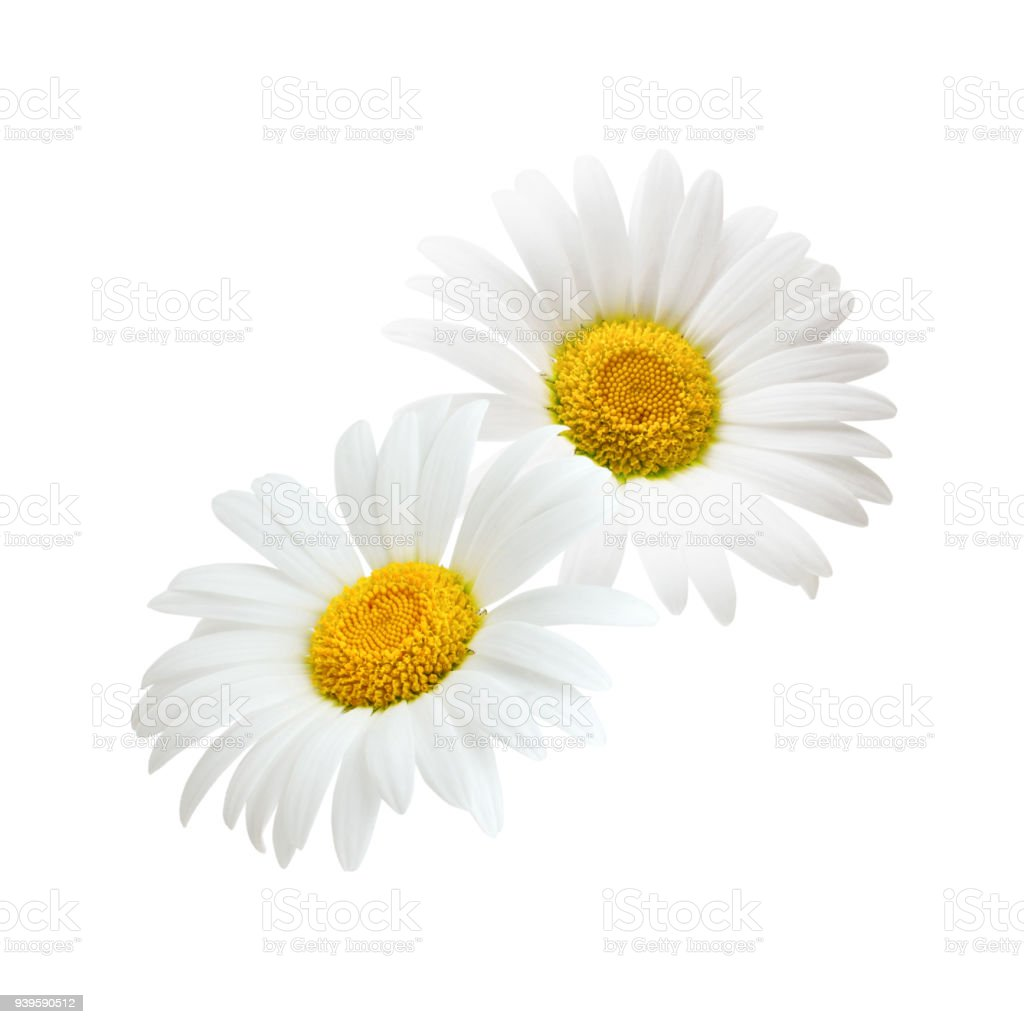 Composition of daisy flowers isolated on white background stock composition of daisy flowers isolated on white background royalty free stock photo izmirmasajfo