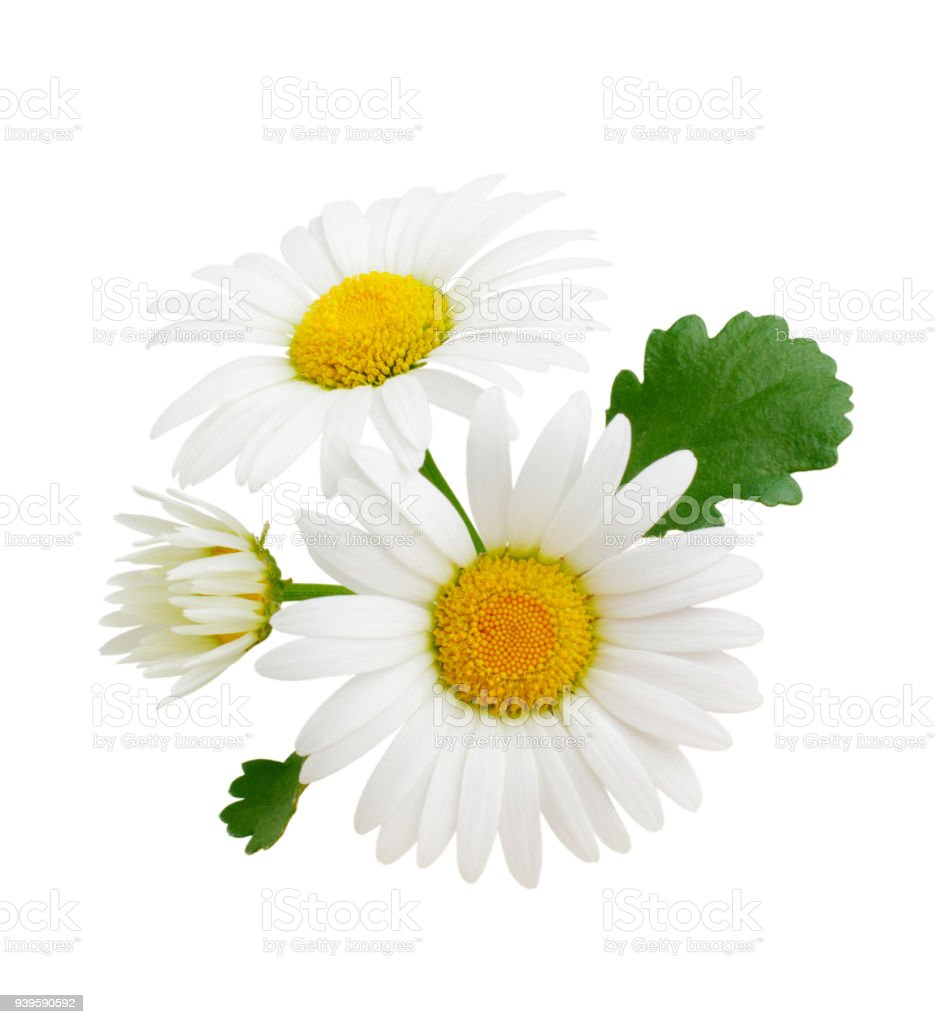 Composition Of Daisy Flowers With Leaves Isolated On White