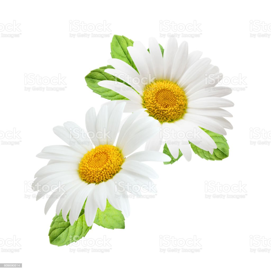 Composition Of Daisy Flowers With Mint Leaves Isolated On White