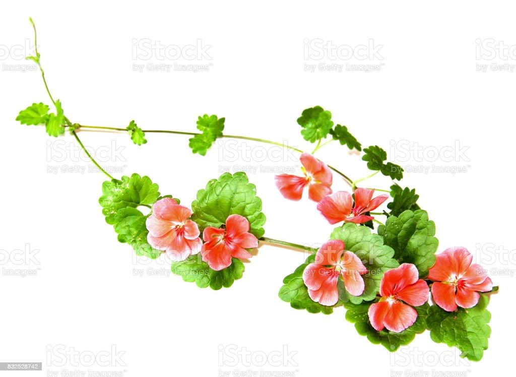 Komposition von frischem Grün lässt der Bodendecker und leuchtend rosa Blüten von geranium – Foto