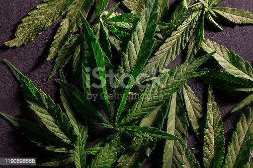 936410150istockphoto Composition of fresh marijuana plant and leaves 1190898558