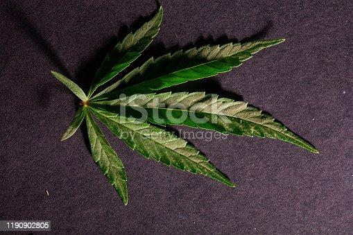 936410150 istock photo Composition of fresh marijuana plant and leaves 1190902805