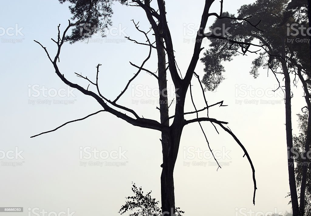 Composition of pine trees. royalty-free stock photo