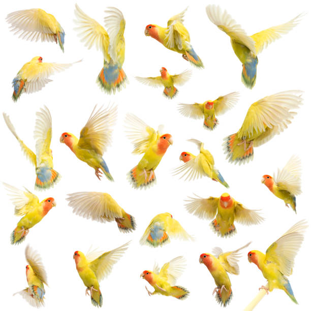 Composition of Rosy-faced Lovebird flying, Agapornis roseicollis, also known as the Peach-faced Lovebird against white background stock photo
