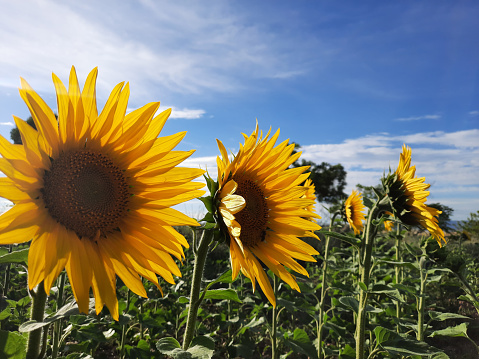 Composition of sunflowers in the cultivation field prepare for sunflower oil