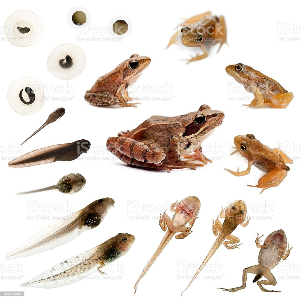 Composition of the complete evolution, frogs Composition of the complete evolution of a Common frog in front of a white background Amphibian Stock Photo