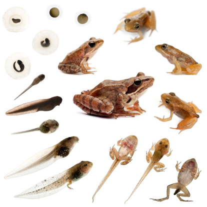 Composition Of The Complete Evolution Frogs Stock Photo - Download Image Now