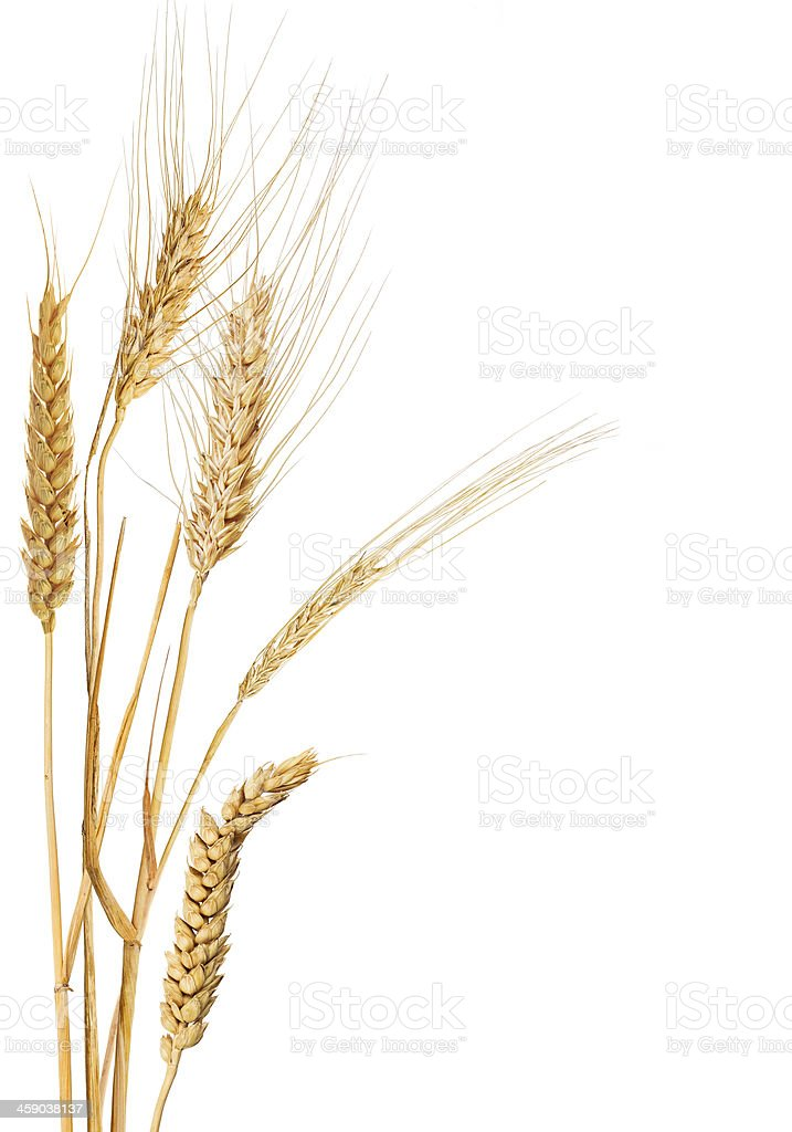 composition with five ears of cereals stock photo