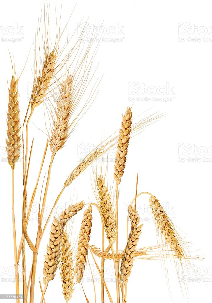 composition with isolated ears of cereals stock photo