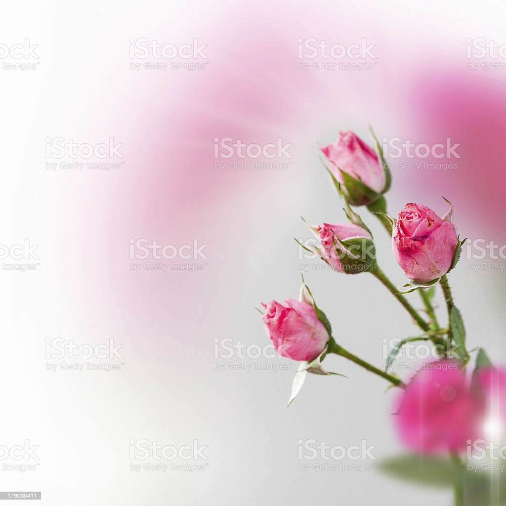 Composition with roses royalty-free stock photo