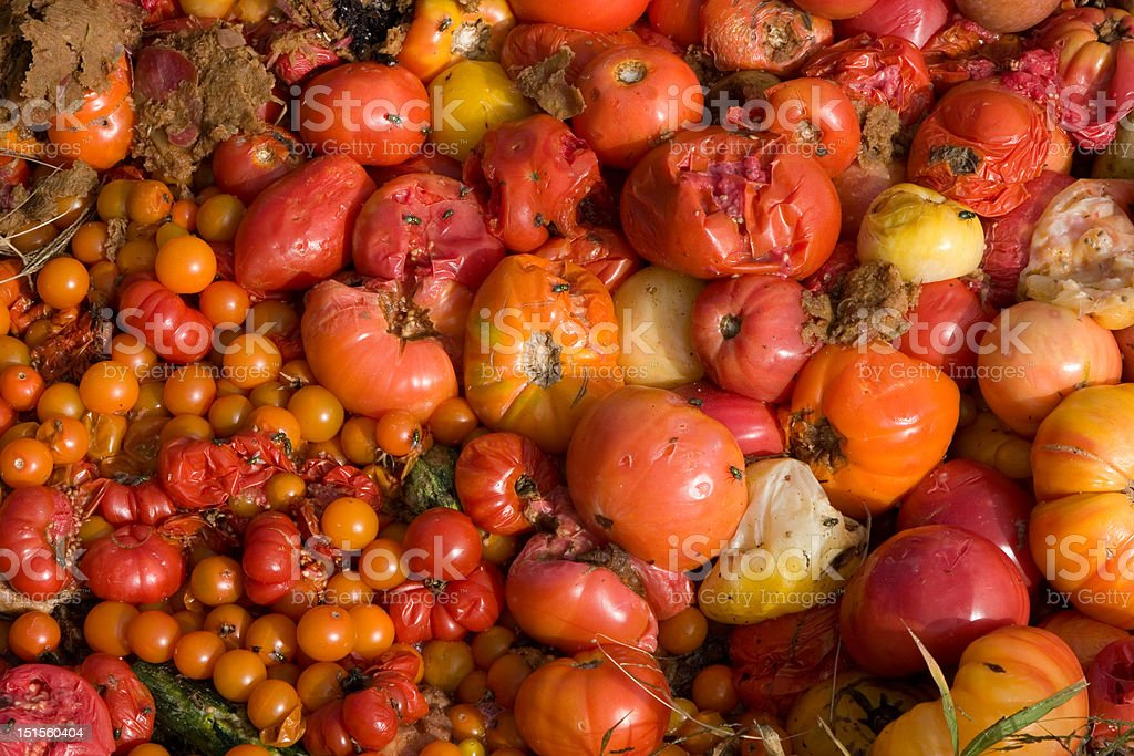 Compost Pile of Rotten and Rotting Tomatoes stock photo