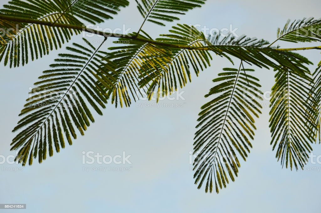 compound leaf in sky background royalty-free stock photo