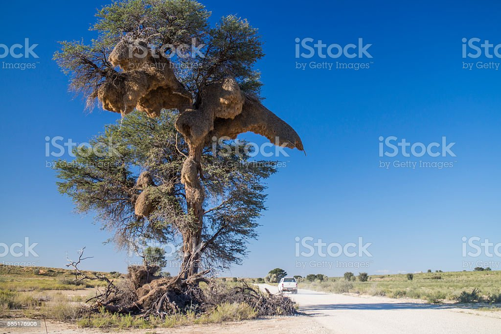 Compound nest built by sociable weaver birds in Kalahari stock photo