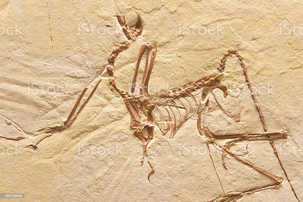 Compsognathus Fossil stock photo