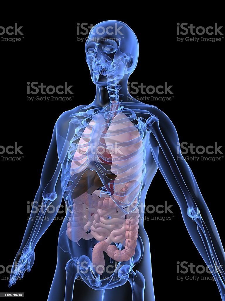 A computer generated image of the anatomy of a human torso stock photo