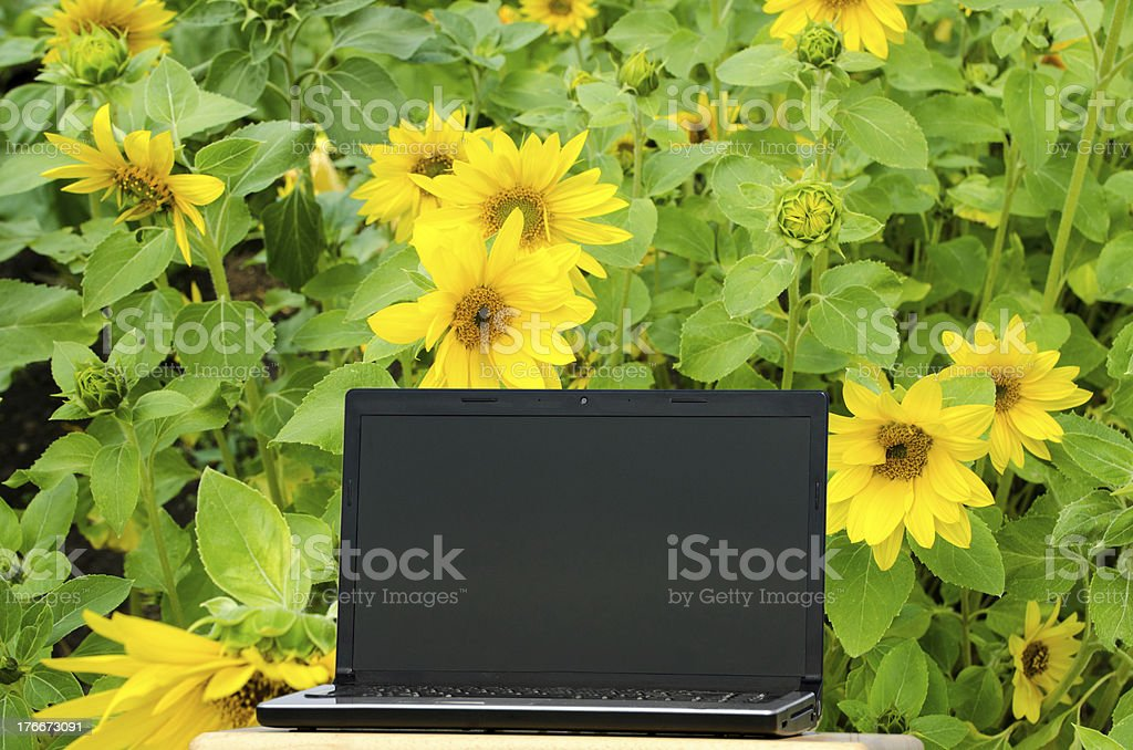 Computer in Sunflower Field royalty-free stock photo