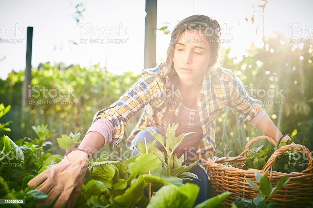 Concentrated female harvesting in organic farm on sunny day – Foto