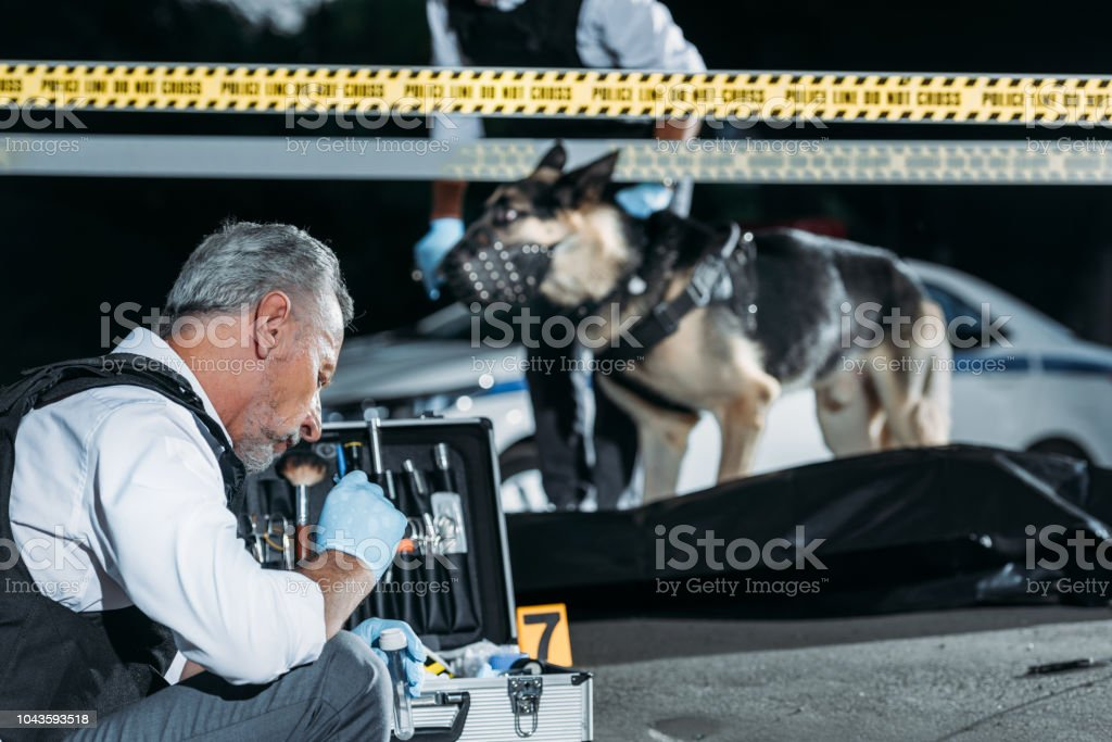 concentrated mature policeman sitting with case for investigation tools while his colleague with alsatian on leash standing near corpse in body bag at crime scene stock photo