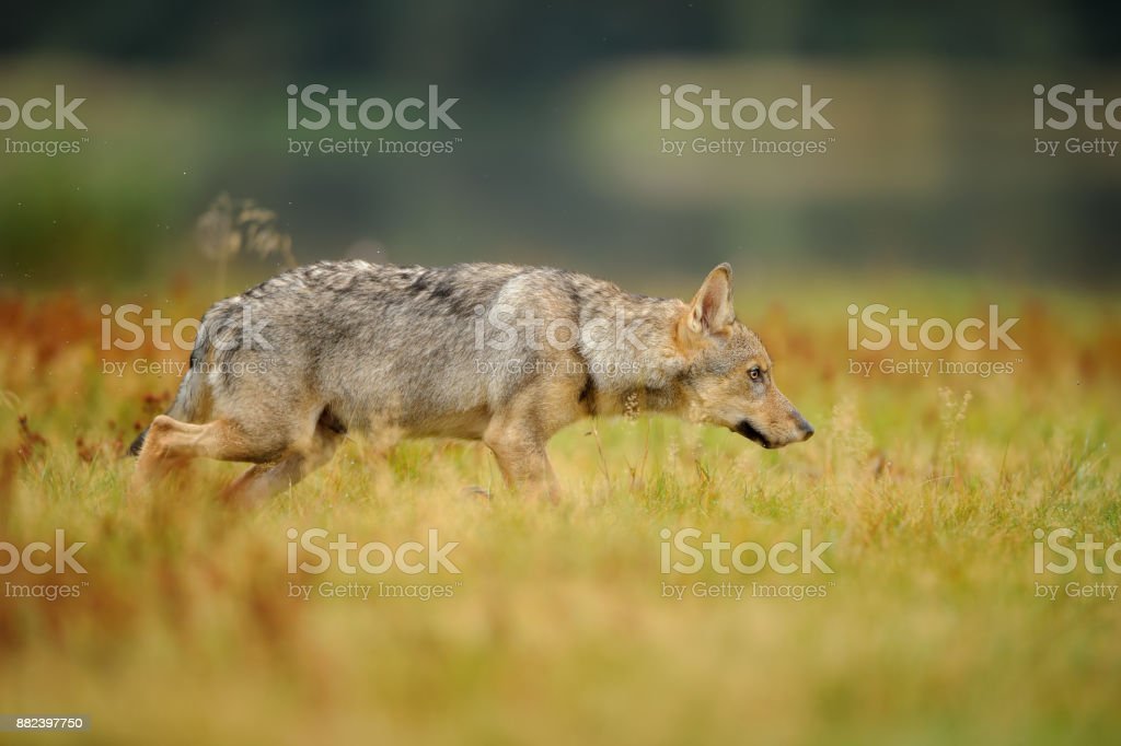 Concentrated wolf in yellow grass stock photo