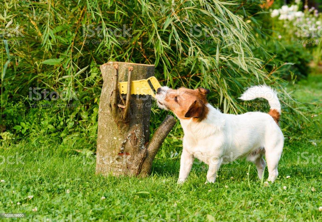 DIY concept:  dog sawing wooden log at garden - Photo