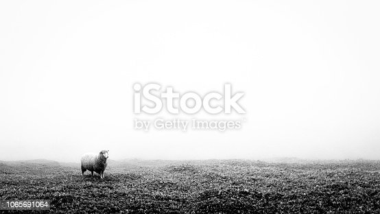 One lonely sheep on a grass field. This image is black and white. It was foggy and misty. The weather condition was cold. The image has a minimalism feel. It is suitable to add text or quote.