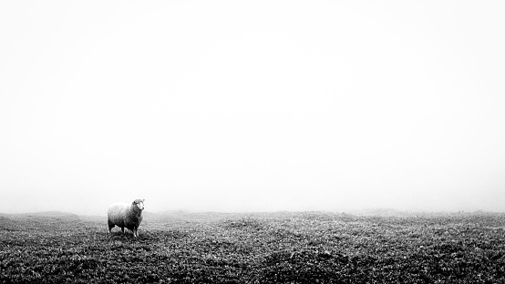 Concept image of a lost sheep in the middle of nowhere