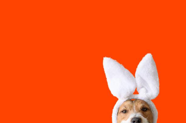 Concept van de partij van Pasen met vermakelijke hond die konijntjeoren op heldere oranje achtergrond draagt foto