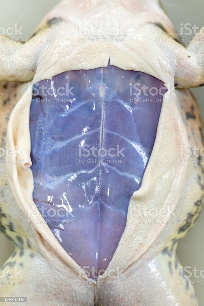 Concept of Education anatomy and physiology of frog in laboratory. stock photo