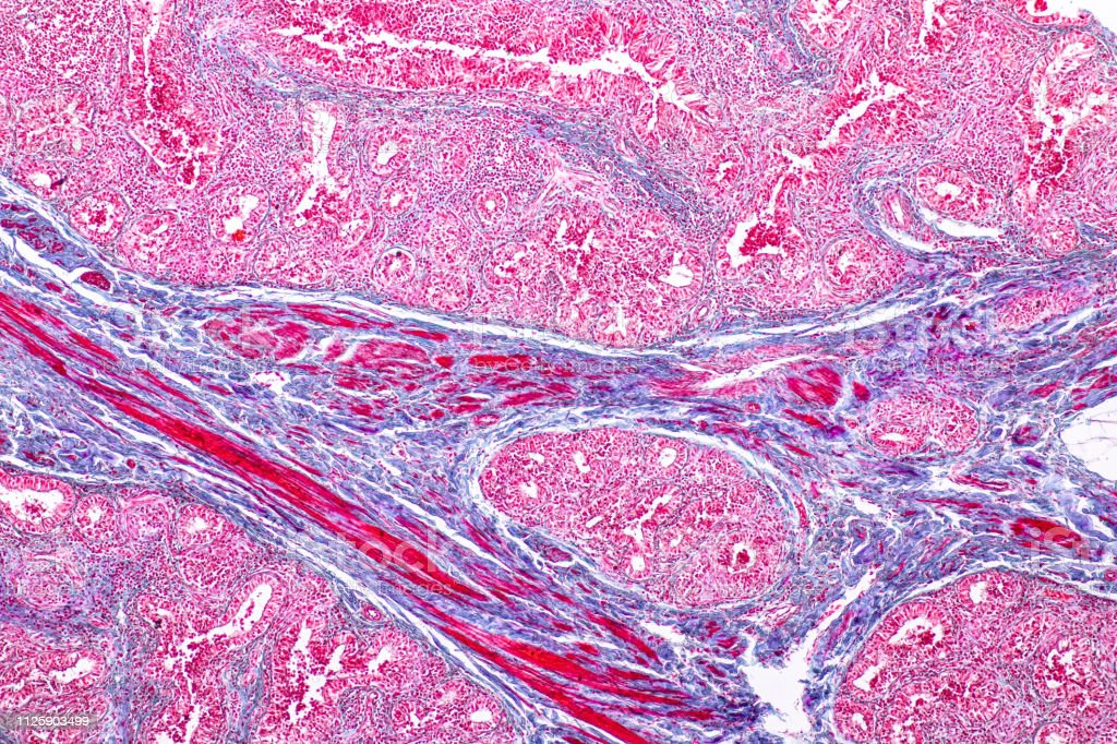 Concept of Education anatomy and physiology of mammary gland is an exocrine gland in mammals under the microscopic in laboratory. stock photo