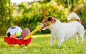 Jack Russell Terrier pulling cart full of balls