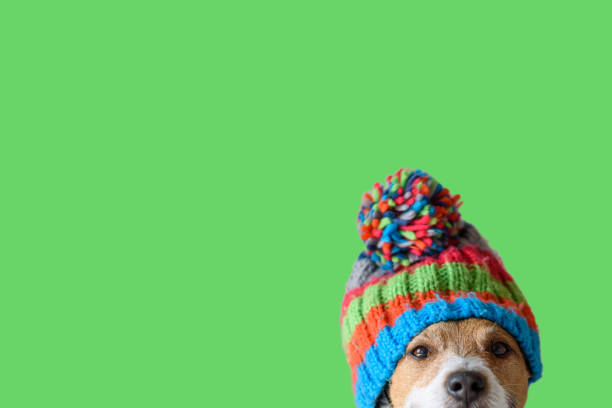 concept of pet ready for cold winter weather with dog wearing warm knitted hat - solido foto e immagini stock