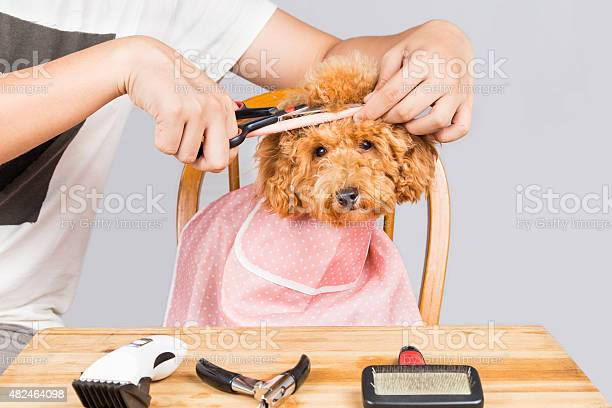 Concept of poodle dog fur being cut and groomed picture id482464098?b=1&k=6&m=482464098&s=612x612&h=ztrirha3ofzdmj7ib4inmxlmp8llq jyaekfq95 lre=