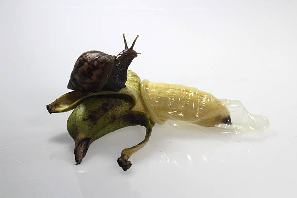 concept picture of making love with Banana condom and snail stock photo